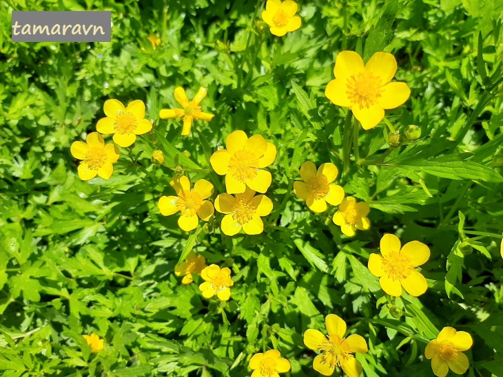 Лютик ползучий (Ranunculus repens)
