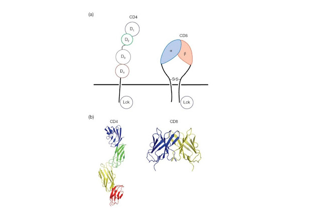 CD4 and CD8 act as co‐receptors for MHC molecules and define functional subsets of T‐cells