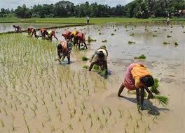 बारिश से खिले किसानों के चेहरे, धान की रोपाई हुई शुरू