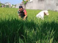 Tingkatkan Hasil Panen, Babinsa Karangasem Terjun Ke Sawah Bersihkan Rumput Bersama Petani