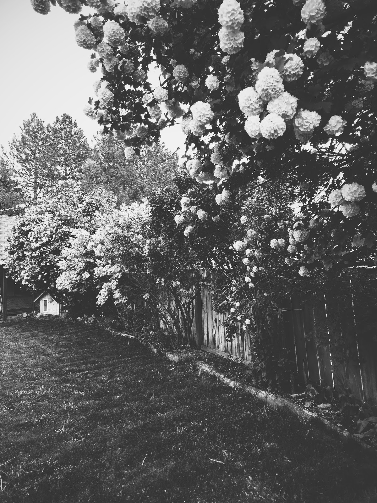 my cute backyard in bloom // life in black & white series // www.thejoyblog.net