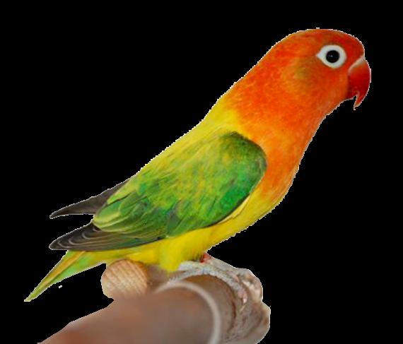 √ 1000+ Gambar Sketsa Burung Lovebird Ngekek
