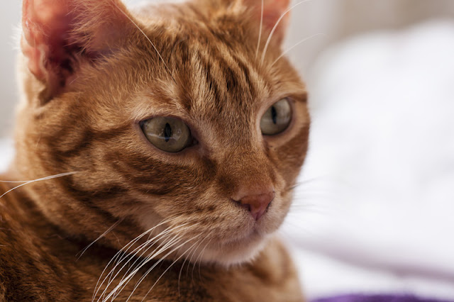 Study shows how stressed cats are at the vet, and the things we can do to help. Photo shows a ginger moggie at the veterinarian