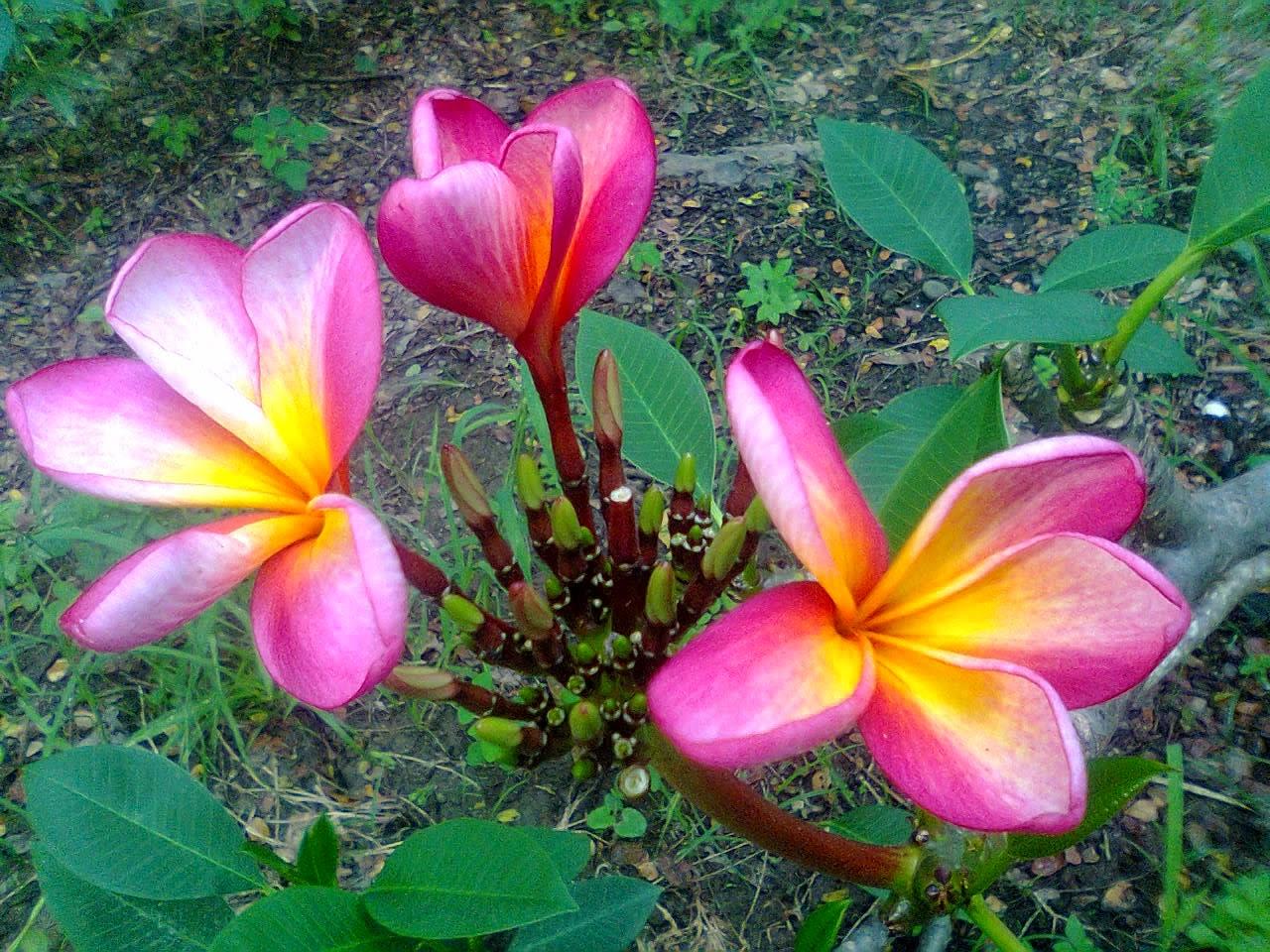 Forum Muslim Manfaat Pohon Dan Bunga Kamboja