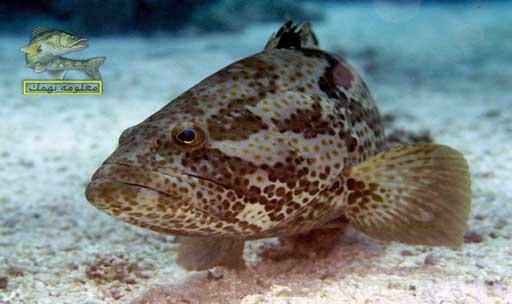 أنواع أسماك البحر الاحمر _ سمك الهامور