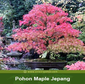 ciri ciri pohon maple jepang bonsai