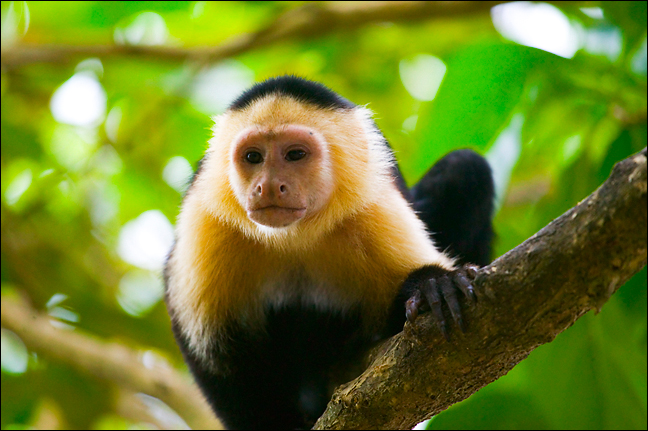 White Faced Capuchin  Animal Wildlife