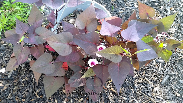 Blooming Sweet Potato Vines. Share NOW. #plants #bloomingplants #vines #eclecticredbarn