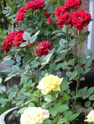 Miniature rose plants