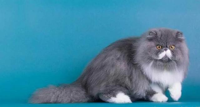 MUDAH ! Inilah Cara Merawat Kucing Persia Agar Cepat Gemuk