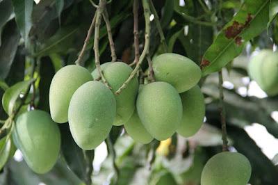 Kaccha Aam khane ke fayde. Benefits of Raw Mango in Hindi/Urdu.