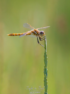 Female Variegated Meadowhawk Dragonfly (Sympetrum corruptum)