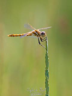 Female Variegated Meadowhawk Dragonfly (Sympetrum corruptum)