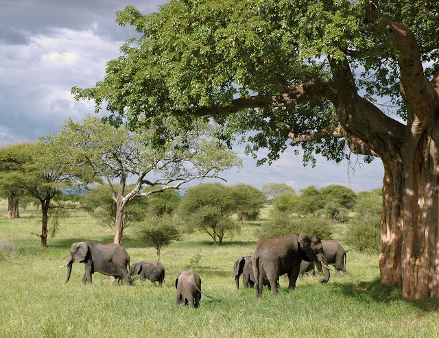Elephant group eating grass image