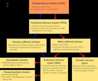 Division of Nervous System