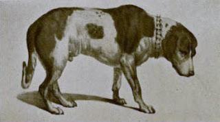 Alpine Spaniel-pet-dog-dog breeds