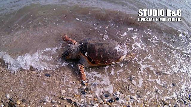 Καθημερινό φαινόμενο οι νεκρές θαλάσσιες χελώνες στην Αργολίδα