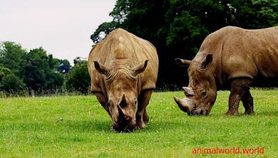 وحيد القرن الاسود