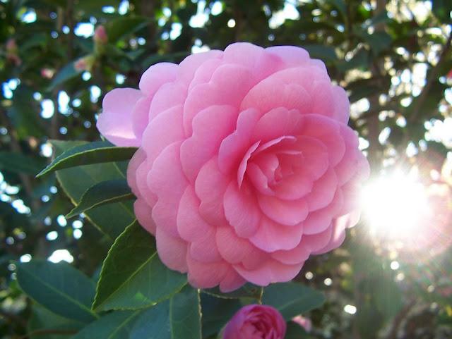 Hoa trà my