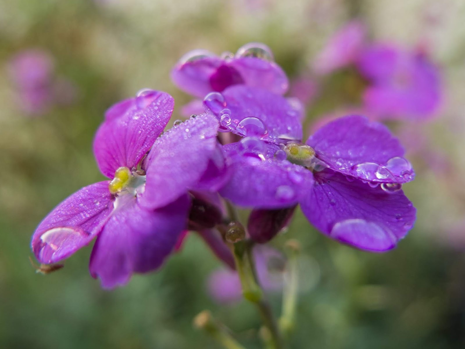 A macro of raindrops on purple Wallflowers.
