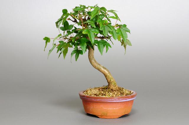 トウカエデ-N1(唐楓盆栽)Acer buergerianum bonsai