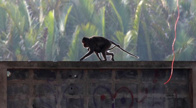 Kecanduan Bensin, Monyet ini Kuras Habis Tangki Motor di