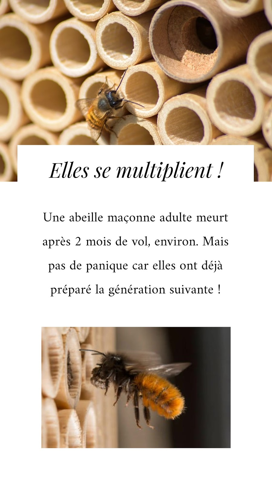 cycle-vie-abeilles-maçonnes