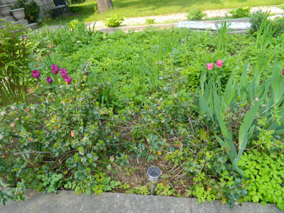 Bedford Park Toronto Front Yard Goutweed Removal Cleanup Before by Paul Jung Gardening Services--a Toronto Organic Gardening Company