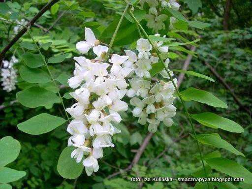 pseudoakacja, drzewo akacjowe, akacja, kwiaty robinii akacjowej, kwiaty akacji, jak wykorzystac kwiaty akacji, kwity jadalne,