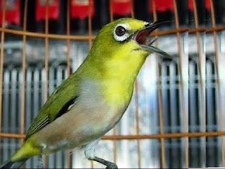 Rahasia Doping Burung Pleci Jawara Dan Super Gacor