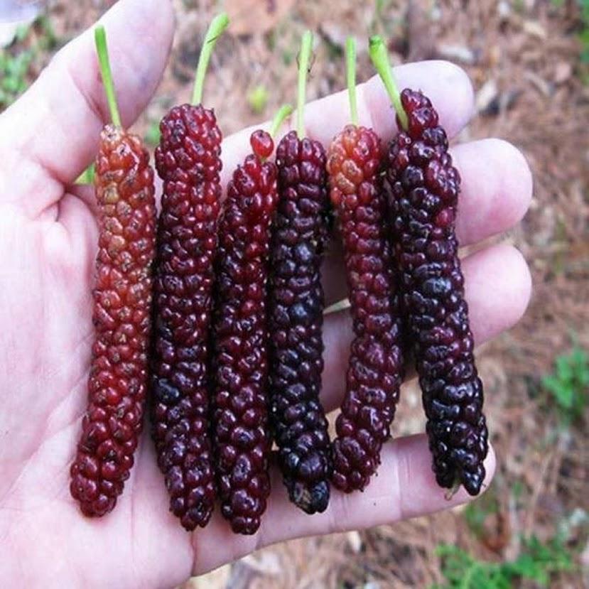 bibit long murbei benih pohon tanaman buah okulasi super bisa untuk tabulampot taman Parepare