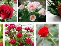 Cara Budidaya Tanaman Bunga Mawar Yang Benar