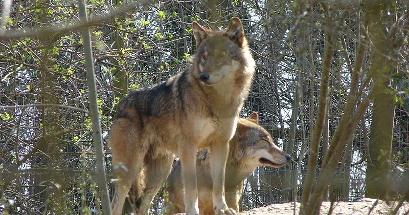 Gray Wolves New Hampshire