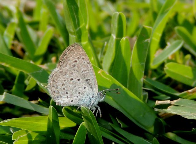 Zyzeeria knysna, una mariposa inquieta