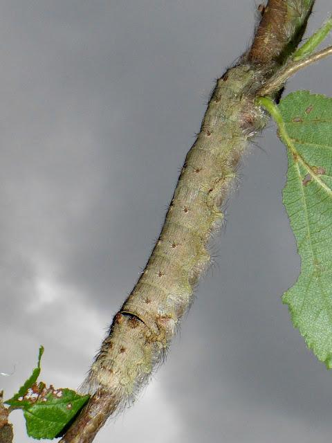 Tolype velleda caterpillar