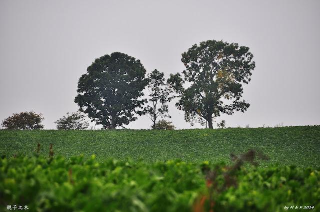 Day 11.1 マイルドセブンの丘、親子の木、セブンスターの木、聖誕樹の木