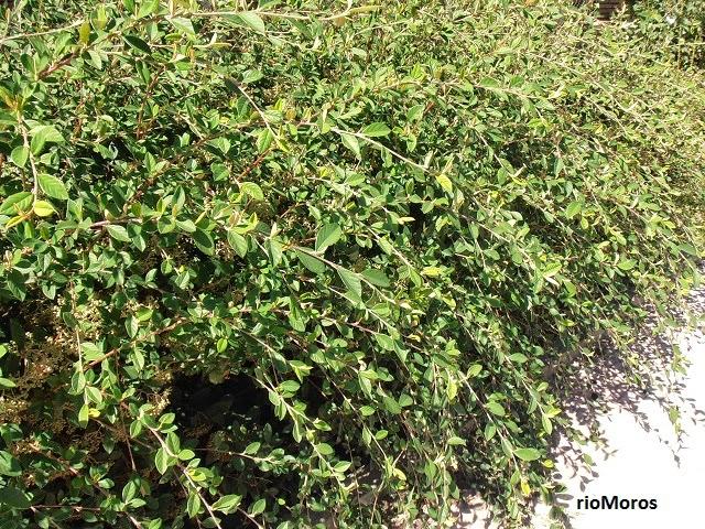 COTONEASTER: Cotoneaster franchetti