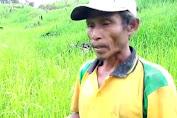 Terancam Gagal Panen, Petani Desa Sekerebeng Mengeluh