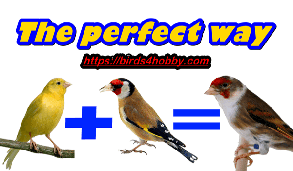 method Production of goldfinch and canary bird