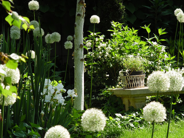white garden, allium Mont Everest
