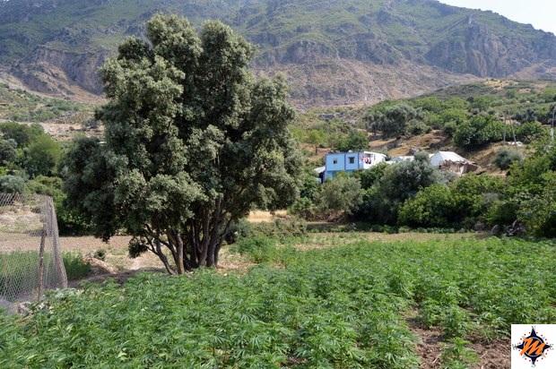 Dintorni di Chefchaouen, piantagioni di kif