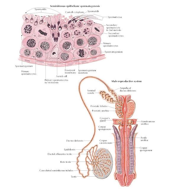 Testes Anatomy