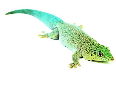 Gecko diurno de standing