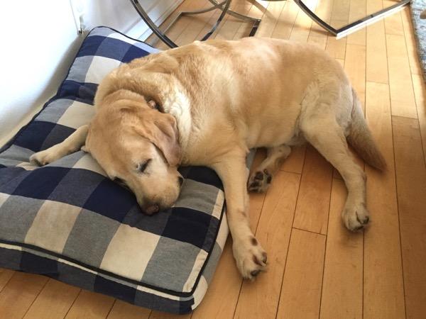 Snoozing Labrador