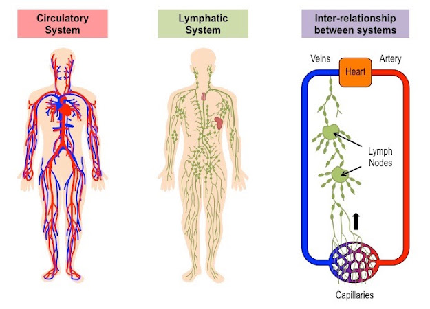 The lymphatic system runs though the body and is made up of organs and lymphatic tissue