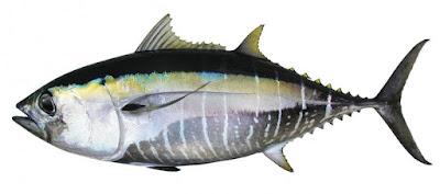 Gambar Ikan Tuna Mata Besar