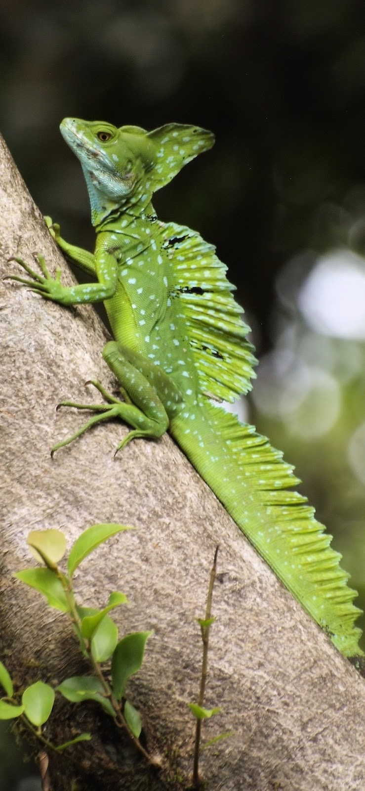 Weird looking green lizard(Basiliscus plumifrons).