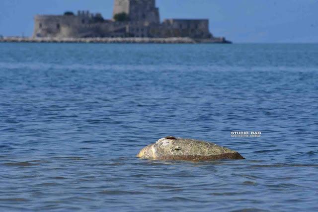 Μακραίνει ο θλιβερός κατάλογος με τις νεκρές θαλάσσιες χελώνες στην Αργολίδα (βίντεο)