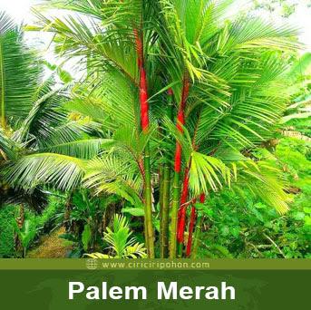 ciri cir pohon palem merah