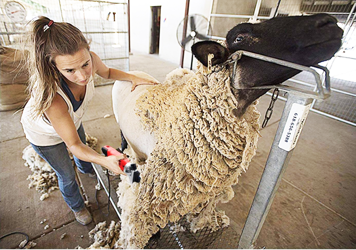 Quality Hand Shears for trimming// dagging// shearing// clipping Sheep Goats Cows